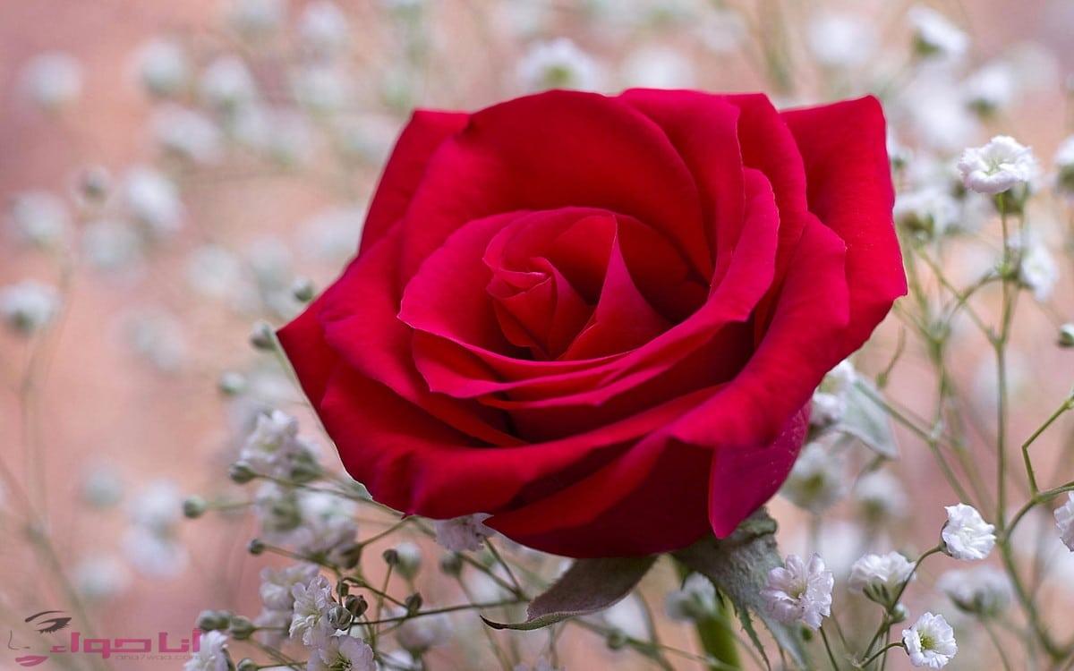ورود الحب لك من قلبي منثوره